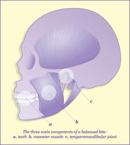 Illustrated diagram of the skull and the muscles involved in moving the jaw